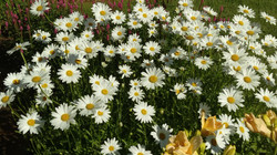 bush of daisies