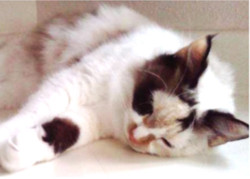 Ciara Lost cat found Austin.jpg