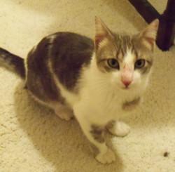 Spencer cat Found face.jpg