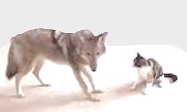 lost cat coyote danger.jpg