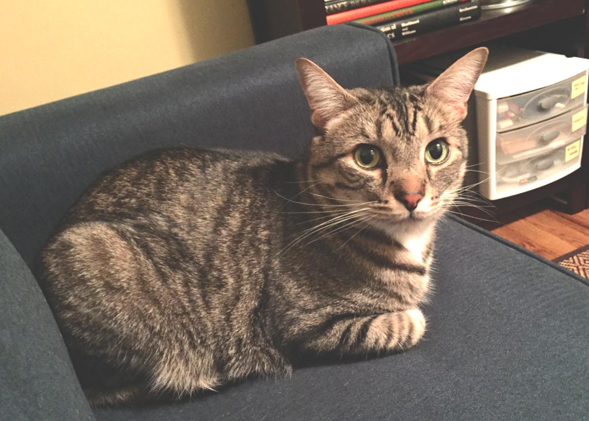 Hawthorne FOUND cat Kansas.png