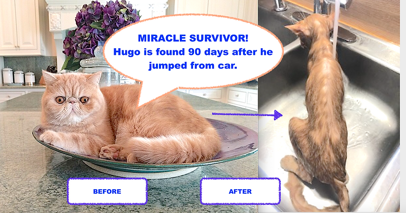 Lost cat FOUND MIRACLE SURVIVOR! Hugo is