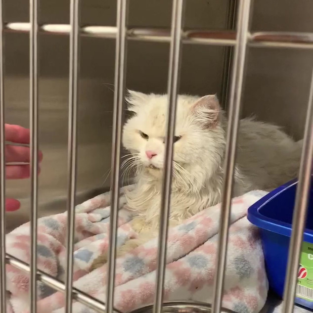 White cat lost in NEw York CIty is found