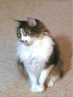 Lost Cat Virginia found cat finder
