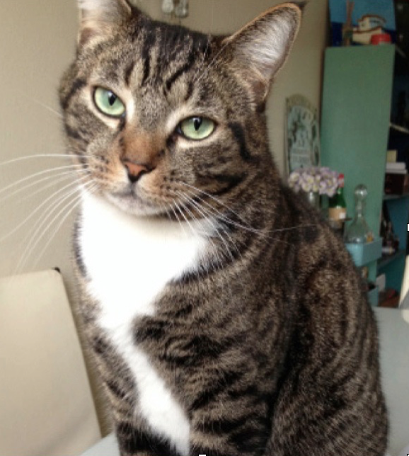 Reese Lost cat found Portland Oregon