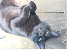 Found cat Chapel Hill NC