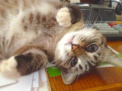 LOst cat found in Sacremento Daisy Dale.jpg