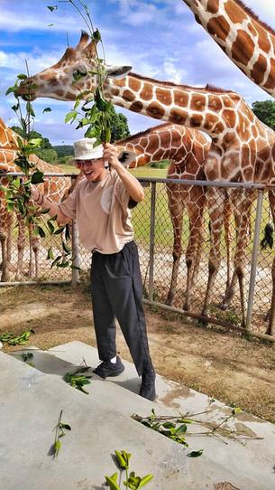 Mr. Mikyle Quizon feeding the Giraffed at Calauit safari in Busuanga Palawan.