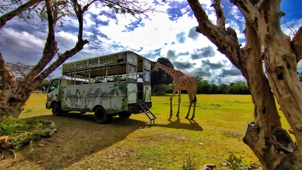 Giraffe while waiting for the feeding.