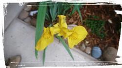 Iris fleurs chez ninette