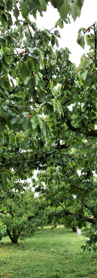 Cerisiers Verger