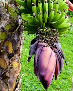 bananas 111