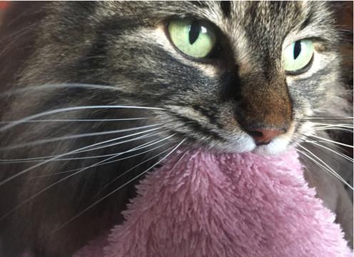 Når voksne katter tråkker og sutter