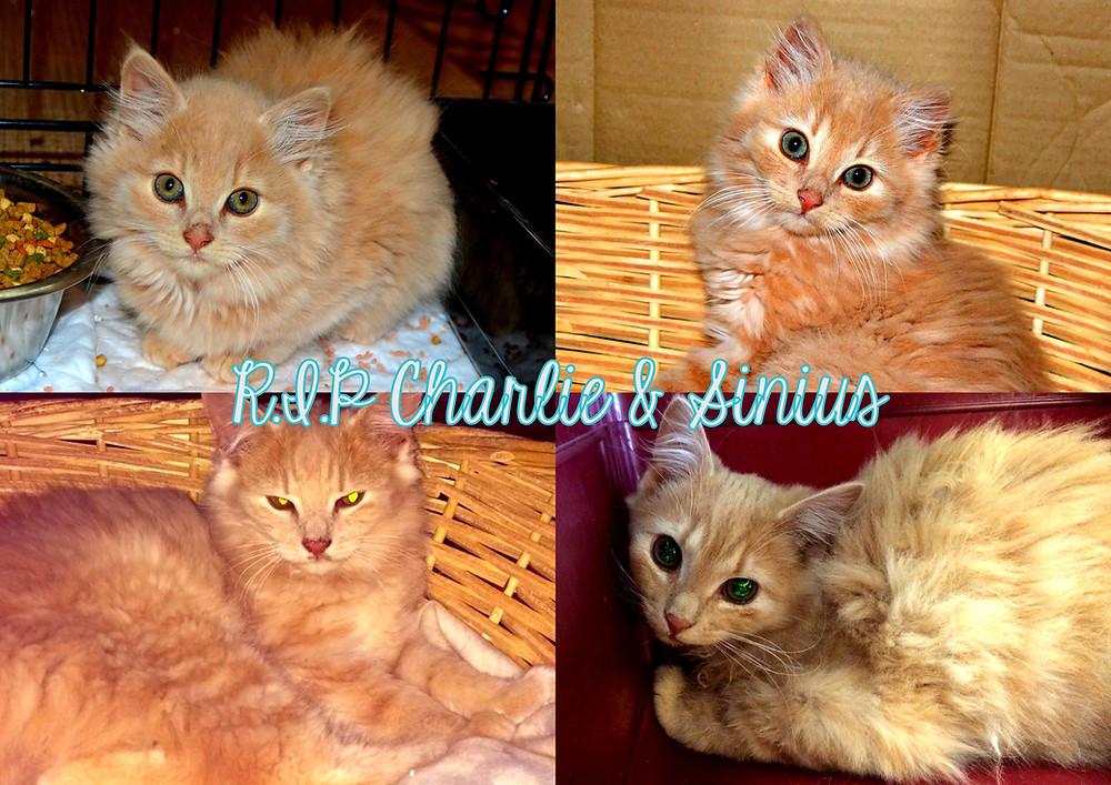 Før- og etterbilder av Charlie og Sinius som ved bare 6 mnd alder døde av akutt nyresvikt.