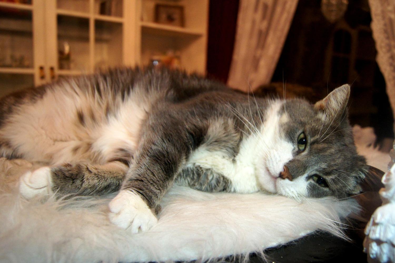 store hårete katte