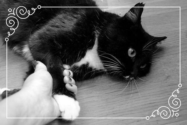 Drektig katt før fødsel.