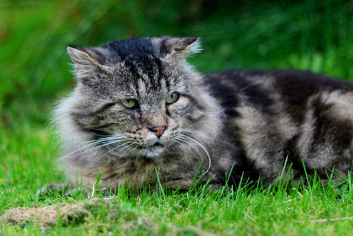Når katten blir eldre