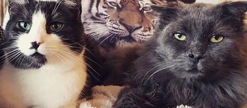 Kan man få godt voksne katter og kattunger til å trives sammen?