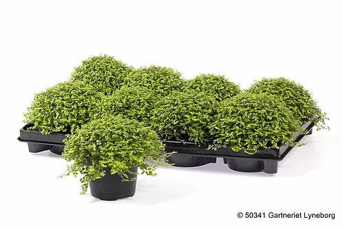 Soleirolia soleirolii (mind your own business plant)