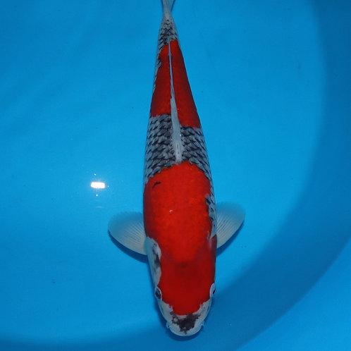 Goshiki - £1500 - Ref-001