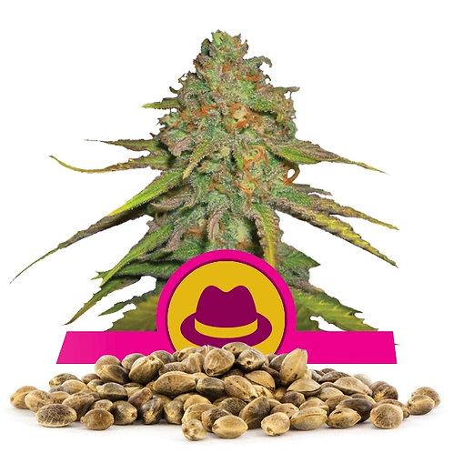 เมล็ดพันธุ์กัญชา  O.G. Kush แพคละ 500 เมล็ด
