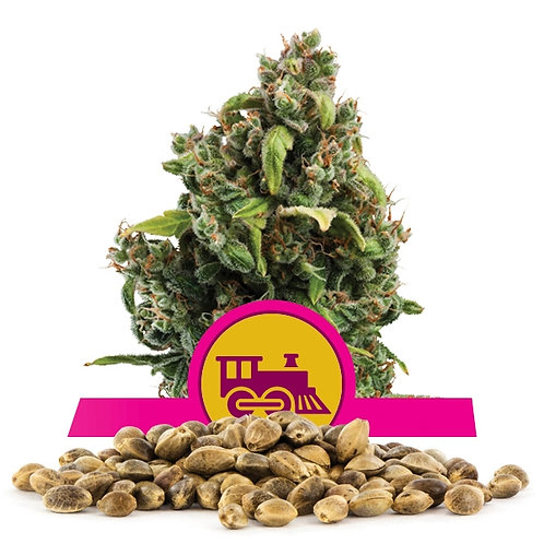 เมล็ดพันธุ์กัญชา  Candy Kush Express แพคละ 500 เมล็ด