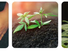 วิธีเก็บรักษาเมล็ดพันธุ์ การเพาะเมล็ด และวิธีปลูกกัญชง