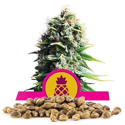 เมล็ดพันธุ์กัญชา  Pineapple Kush แพคละ 500 เมล็ด