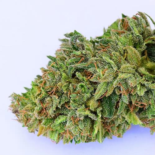 CHERRY WINE (CBD 15%, THC 0.29%) (แพคทดลอง 100 เมล็ด)
