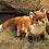 Thumbnail: Fox, Red