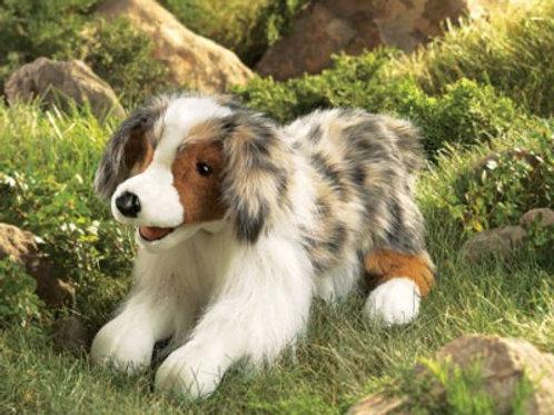 Australian Shepherd - (D)