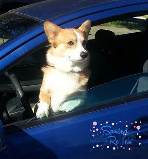 A corgi driving a car ready for pet taxi services.