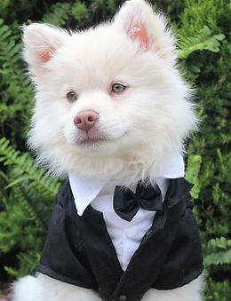 a white dog in a tuxedo.