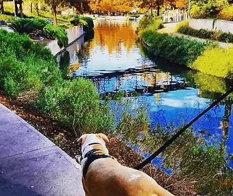 Pitbull walking along the river park.