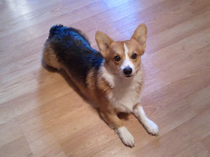 A corgi laying on the ground looking up at the camera.
