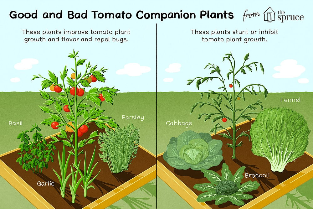 good and bad tomato companion plants