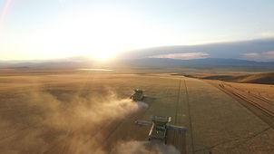 Wheat Montana
