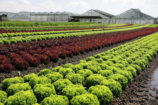 Salatfeld mit Gewächshäuser_Foto Achim M