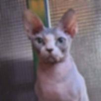 gato sphynx hembra