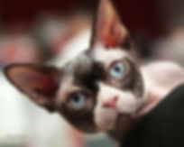 gato sphynx macho