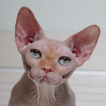 gato sphyn hembra