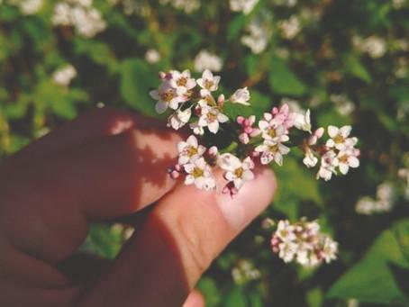 Colori e tradizioni:il fiore del grano saraceno