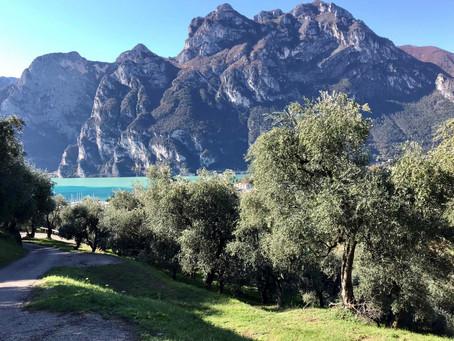 La raccolta delle olive di montagna