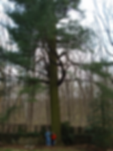 38A_WhitePine_BigTrees.png