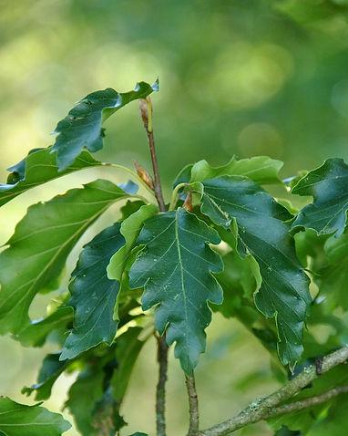 10C_fagus_sylvatica_quercifolia.jpg