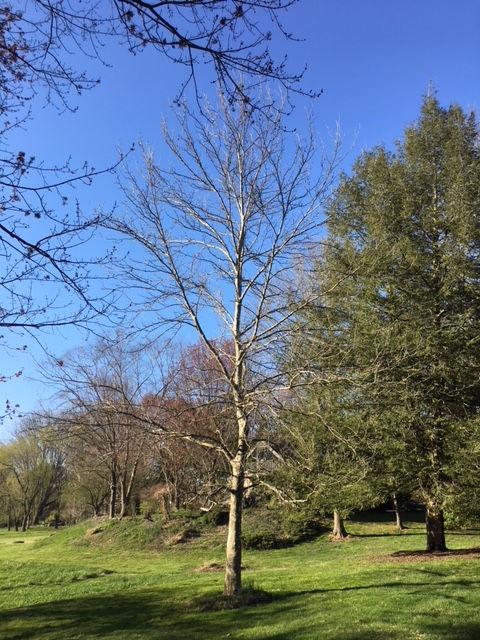 15A_Hippocrates Tree-1.JPG