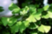 23D_Ginkgo.jpg
