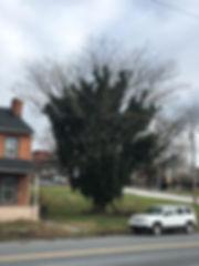 119C_TreeOfHeaven.JPG