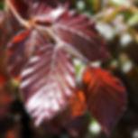 10B_Purple-or-Copper-Beech-(Fagus-Sylvat