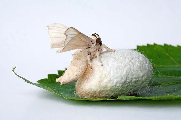 Silk Moth, Cocoon, Mulberry Leaf.jpg